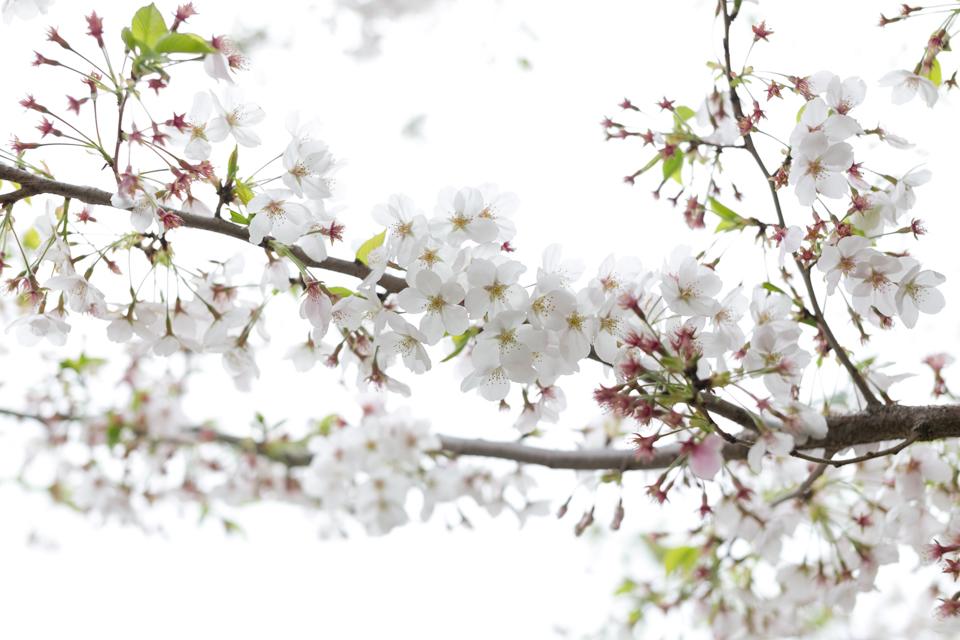 宿川原の桜3