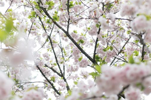 宿川原の桜