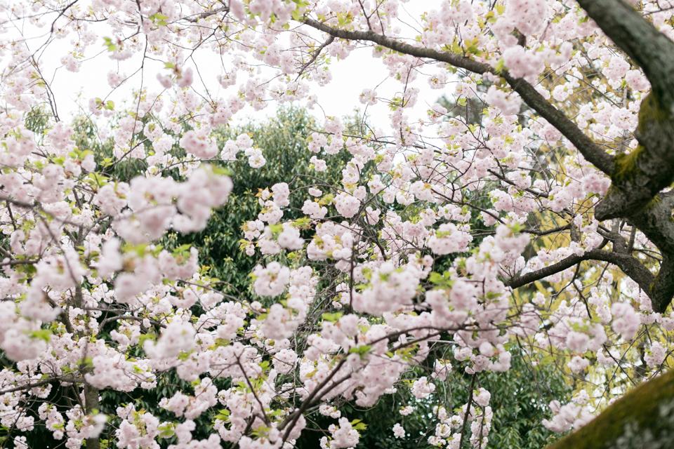 宿川原の桜2